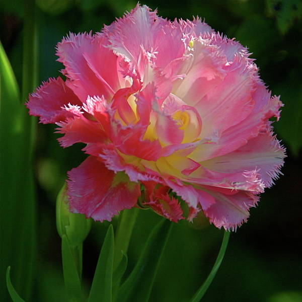 Photograph - Queensland Tulip by Byron Varvarigos