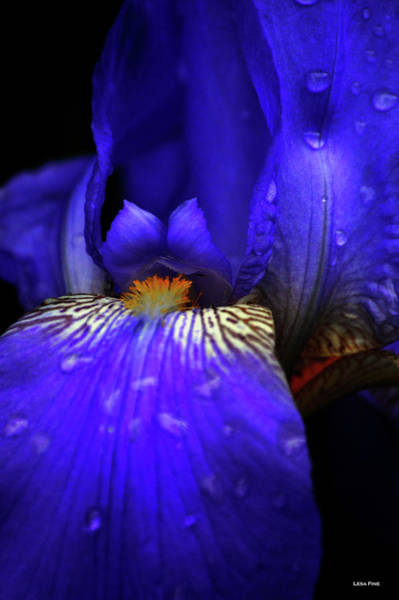 Photograph - Quenched Iris by Lesa Fine