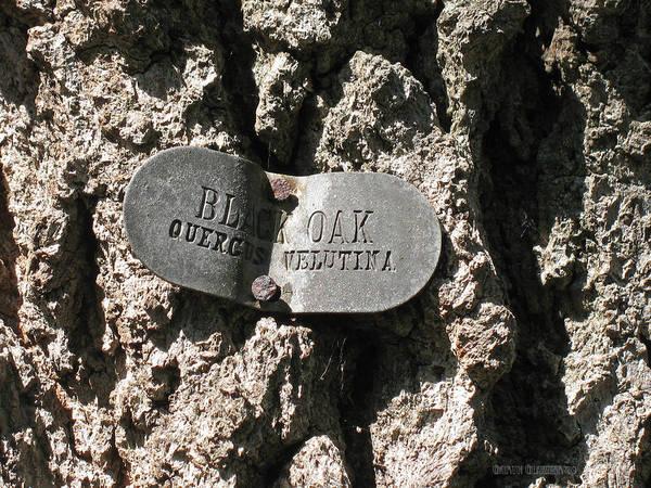 Wall Art - Photograph - Quercus Velutina  by Garth Glazier