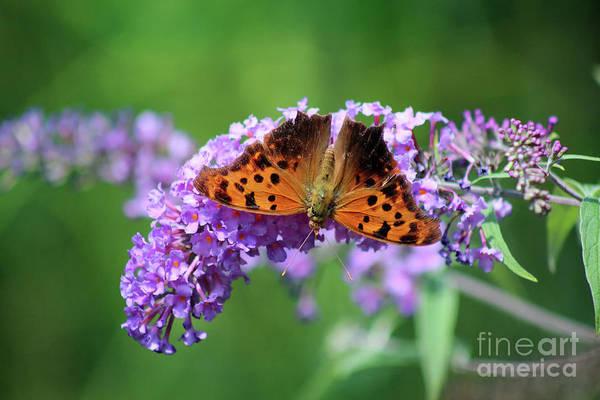 Photograph - Question Mark Butterfly Dorsal View by Karen Adams