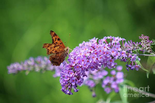 Photograph - Question Mark Butterfly On Butterfly Bush by Karen Adams