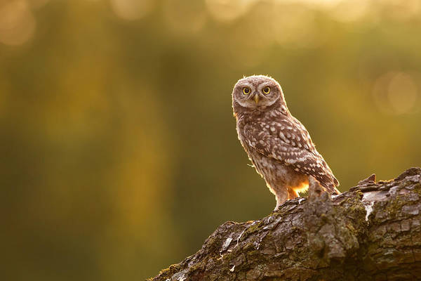 Owl Wall Art - Photograph - Qui, Moi? Little Owlet In Warm Light by Roeselien Raimond