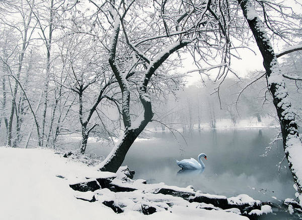 White Swan Photograph - Quiet Grace by Jessica Jenney