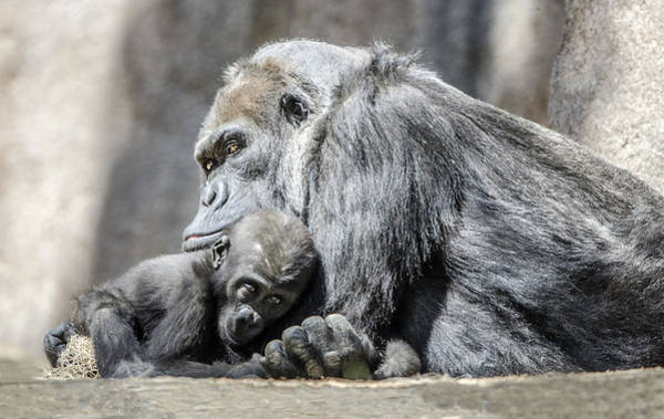 Photograph - Quiet Moment With Her Baby by William Bitman