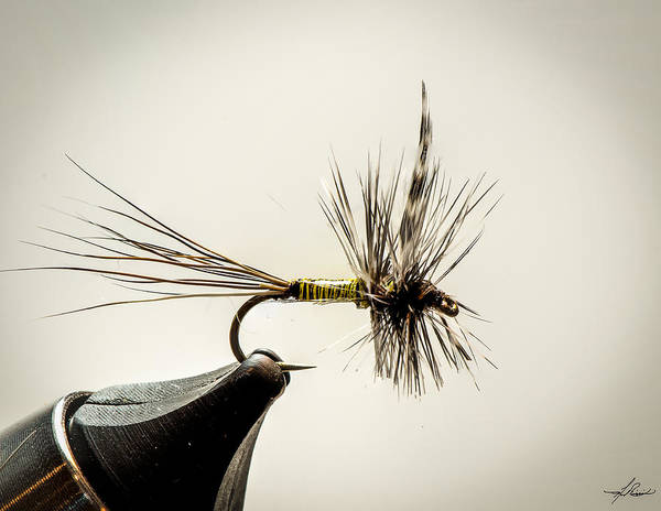 Photograph - Quill Body Mayfly by Philip Rispin
