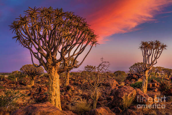 Wall Art - Photograph - Quiver Tree Symphony by Inge Johnsson