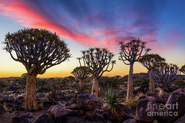Photograph - Quiver Trees 10 by Inge Johnsson