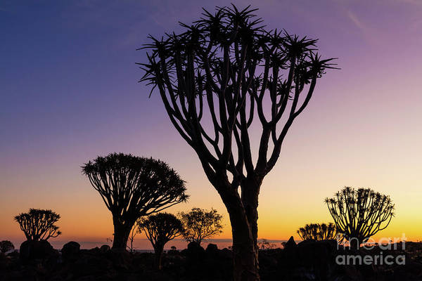 Photograph - Quiver Trees 11 by Inge Johnsson