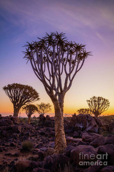 Photograph - Quiver Trees 12 by Inge Johnsson