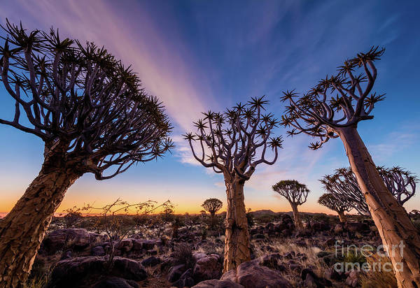 Photograph - Quiver Trees 13 by Inge Johnsson