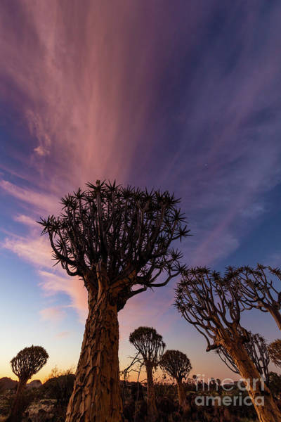 Wall Art - Photograph - Quiver Trees 14 by Inge Johnsson