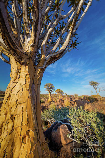 Photograph - Quiver Trees 4 by Inge Johnsson