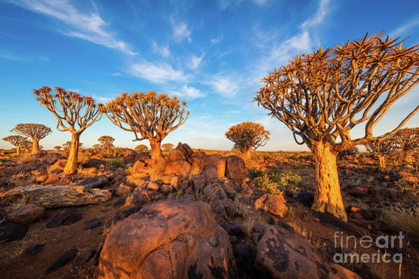 Wall Art - Photograph - Quiver Trees - May by Inge Johnsson