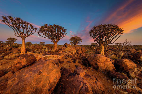Photograph - Quiver Trees 9 by Inge Johnsson