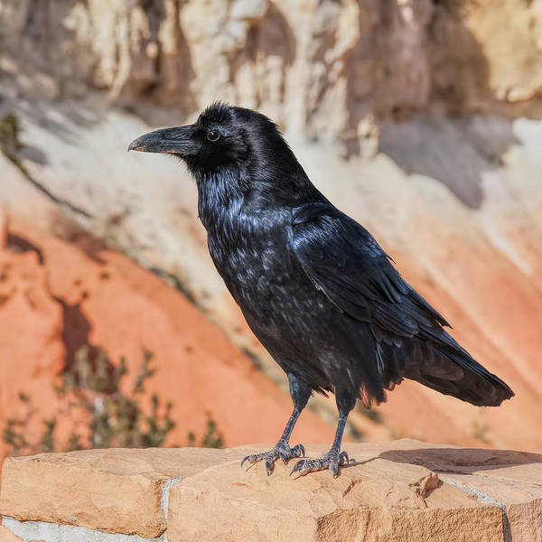 Photograph - Quoth The Raven by John M Bailey