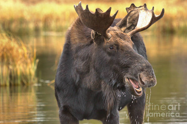 Drool Photograph - Moose Hello by Adam Jewell