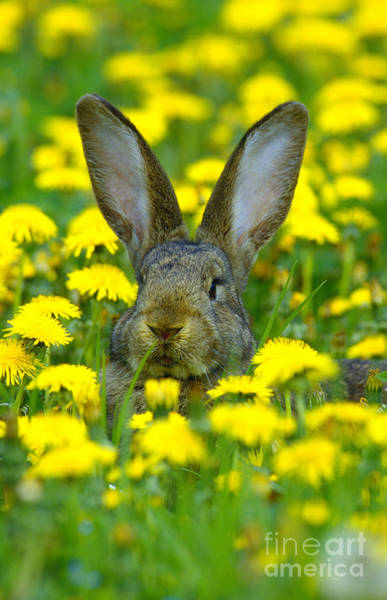 Photograph - Rabbit And Dandelions by Herbert Kehrer