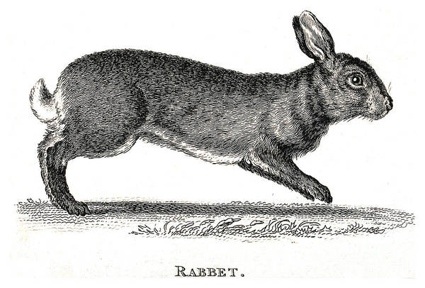 Photograph - Rabbit Historical Illustration by Wellcome Images