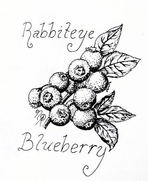 Drawing - Rabbiteye Blueberry by Nicole Angell