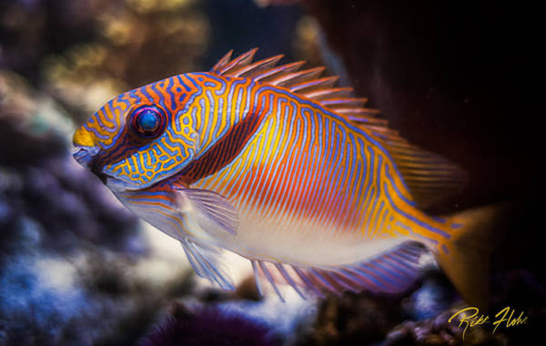 Photograph - Rabbitfish by Rikk Flohr