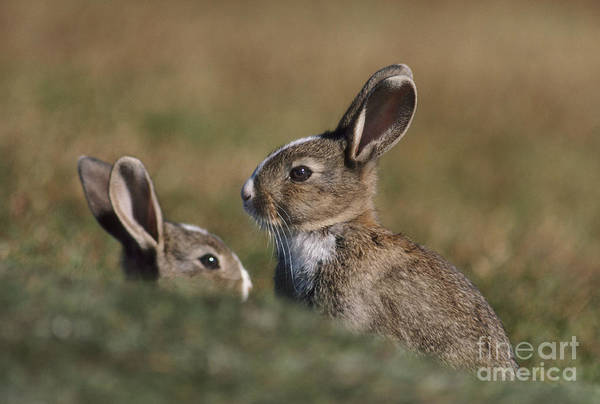 Photograph - Rabbits In The Falklands by Frans Lanting MINT Images