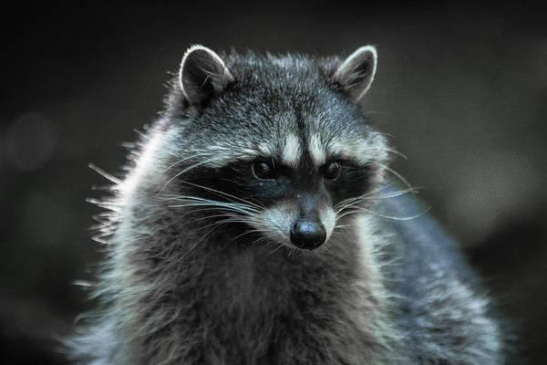 Raccoon 2 Art Print