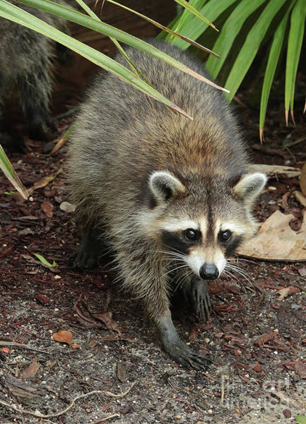 Photograph - Raccoon Bandit by Carol Groenen
