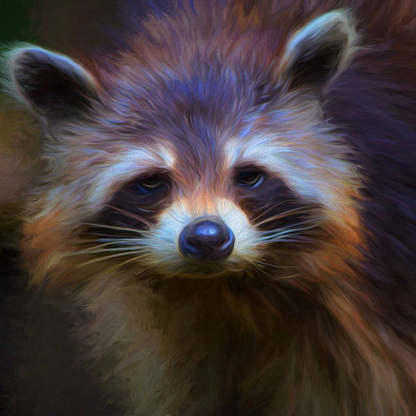 Raccoons Photograph - Raccoon by Cindy Grundsten