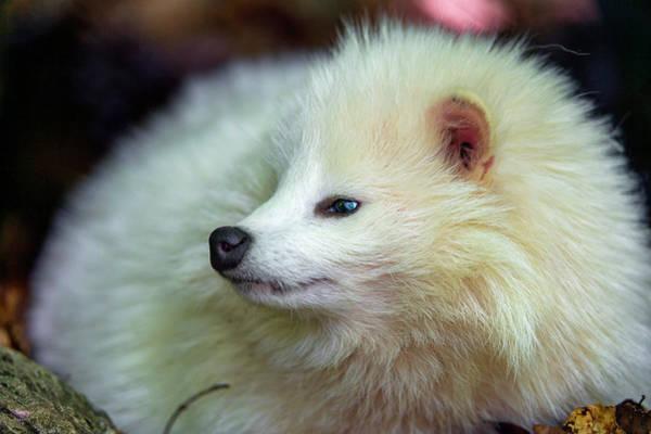 Animal Digital Art - Raccoon Dog by Super Lovely