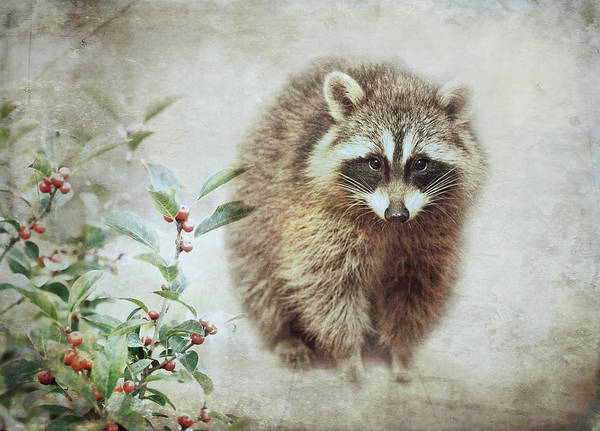Raccoons Photograph - Raccoon In Winterberry by Susan Capuano
