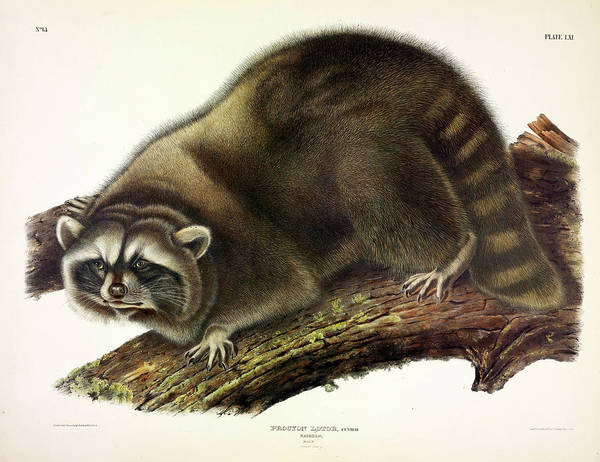 Wall Art - Painting - Raccoon by John James Audubon
