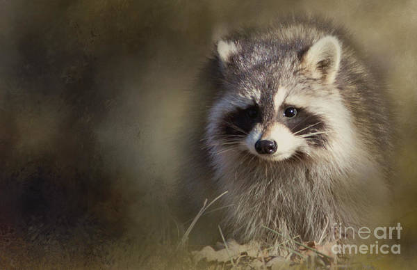 Photograph - Raccoon by Pam  Holdsworth