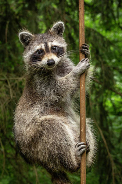 Photograph - Raccoon Pole Dancer - Wildlife In The Bird Yard by Mother Nature