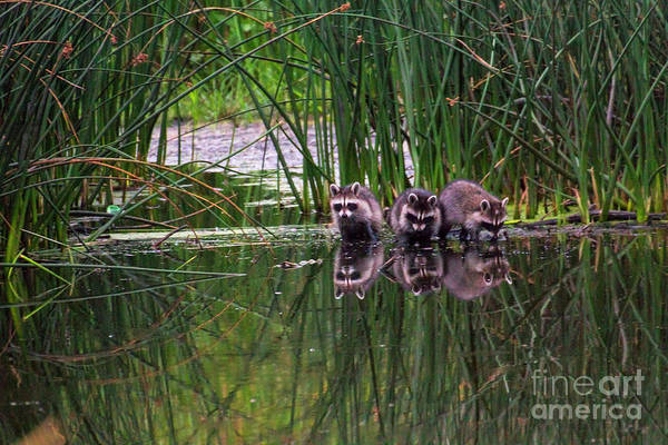 Photograph - Raccoons by Spencer Baugh
