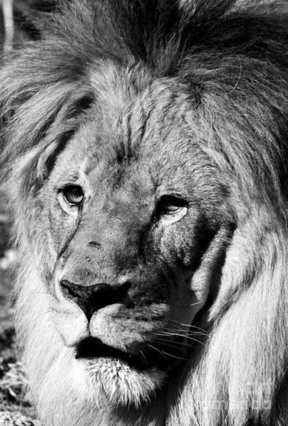 Photograph - Racine Zoo Lion by Ricky L Jones
