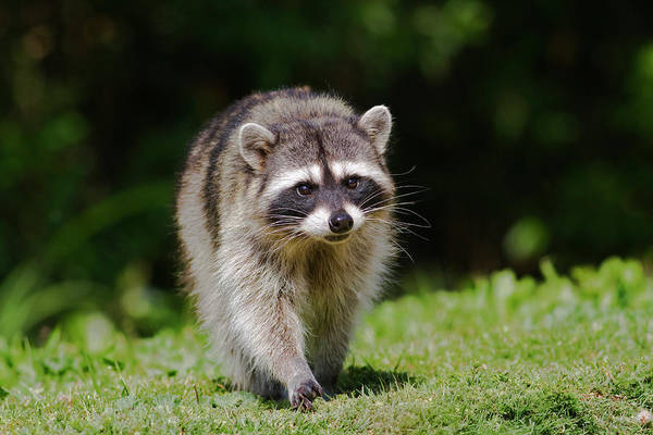 Photograph - Racoon Approach  by Mark Miller