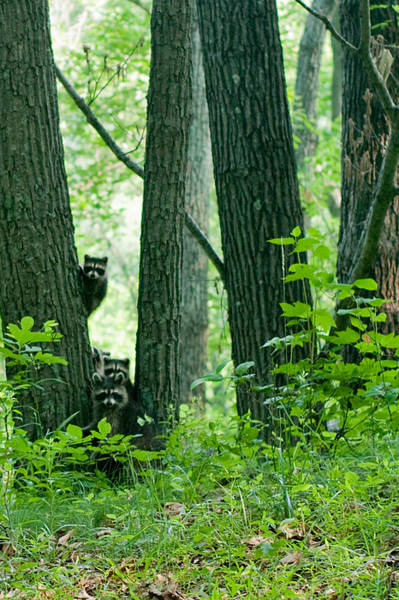 Wall Art - Photograph - Racoon Family by Melissa  Riggs