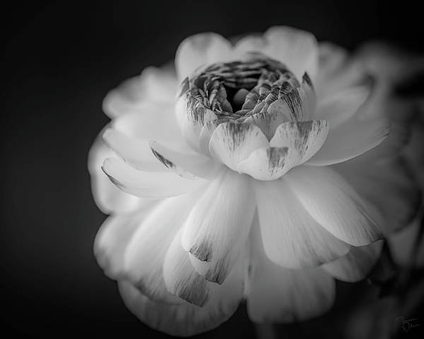 Photograph - Radiance Blooms by Teresa Wilson
