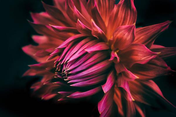 Photograph - Radiant Dahlia   by Jessica Jenney