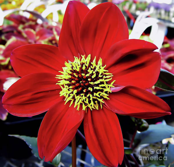 Photograph - Radiant Red Dahlia by D Hackett