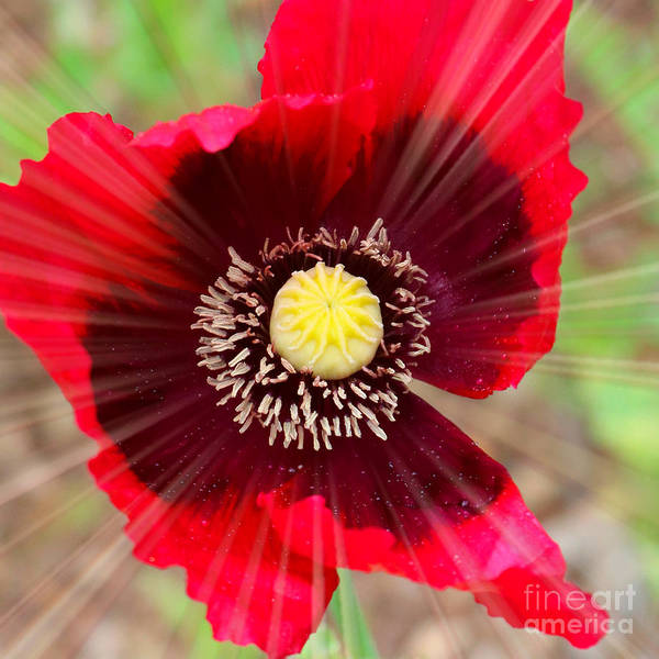 Photograph - Radiant Red Poppy by Carol Groenen
