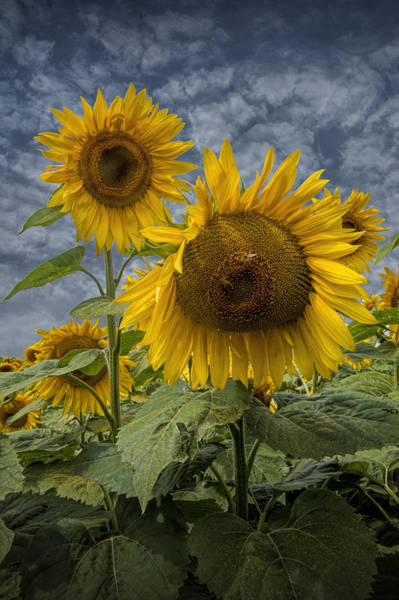 Photograph - Radiant Sunflowers by Randall Nyhof