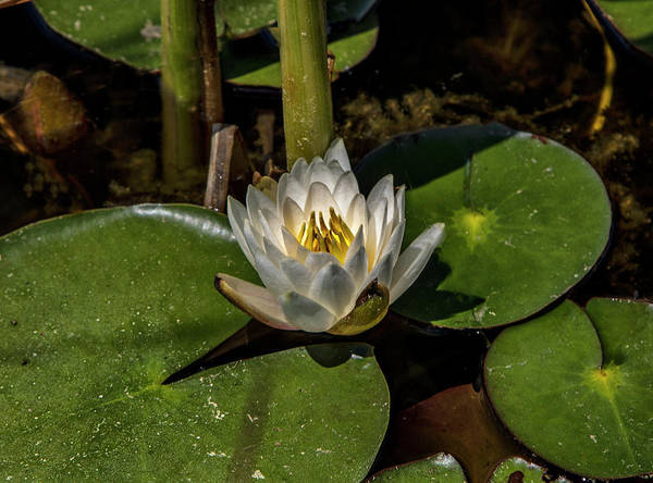 Photograph -  Radiant White Pond Lily  by Betty Pauwels