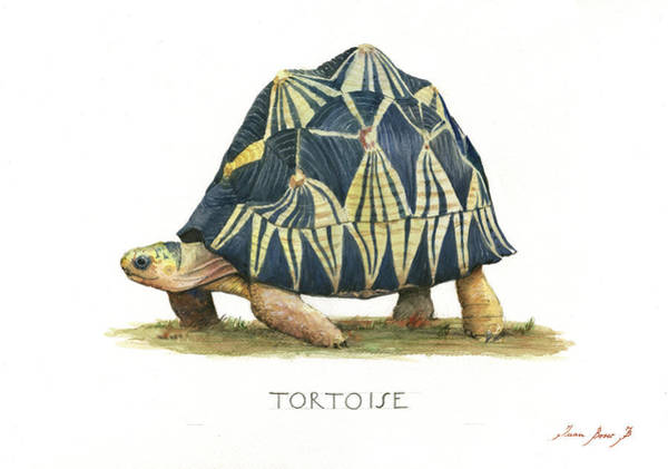Wall Art - Painting - Radiated Tortoise  by Juan Bosco