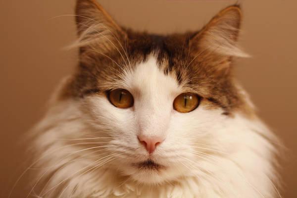 Ragamuffin Photograph - Ragamuffin Cat Portrait by Fbmovercrafts
