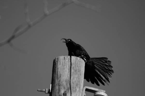 Photograph - Raging Crow by Colleen Cornelius