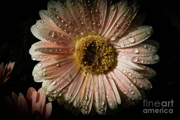 Photograph - Rain Drenched Daisy by William Norton
