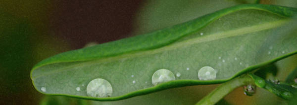 Photograph - Rain Drops In A Pod by Crystal Wightman