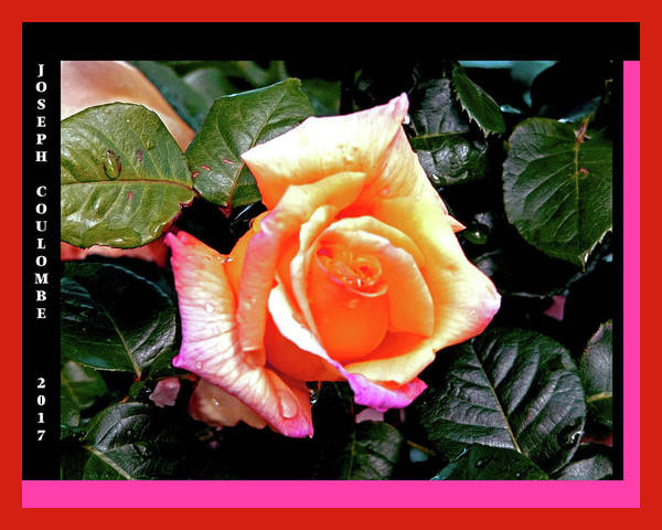 Digital Art - Rain Drops On A Rose by Joseph Coulombe