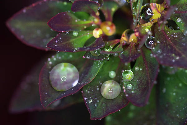 Photograph - Rain Drops On Christmas Flower by Crystal Wightman